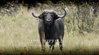 Buffalo Hunting in Namibia - Dagga Boy Danger with Khomas Highland Hunting Safaris