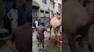Tuer par un chameau 😮😮