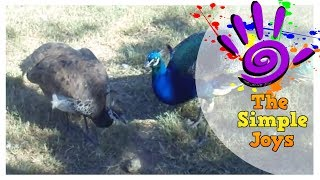 Peacock and the Peahen