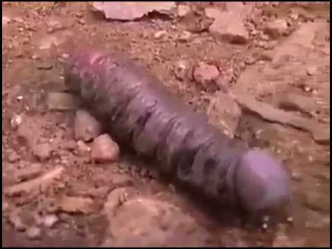 Worm That Looks like big black cock