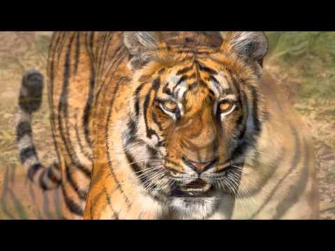 Tiger Sounds and Tiger Pictures