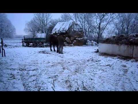 Polski koń zimnokrwisty Messyna po Bartek Misuri