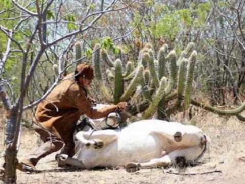 Pega de boi e a Vaquejada