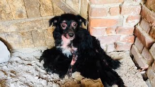 Rescued mom and 5 puppies with Demodex. Please share.