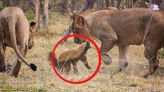 أشجع حيوان فى العالم | فى حجم القط ويهاجم الأسود والنمور !