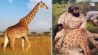 سعودي يأكل زرافة !! - يرد على منتقديه الفيل الصغير  هدفه القادم !