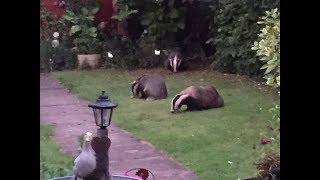 Vlog: Badger Family in My Garden
