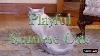 Playful Siamese Cats - Amazing Cats