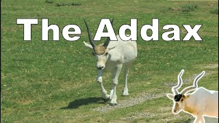 The spectacular Addax (Animal Adventure Park) - Episode 86