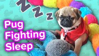 Pug Fights Sleep & Kitten Fetch! // Funny Animal Compilation