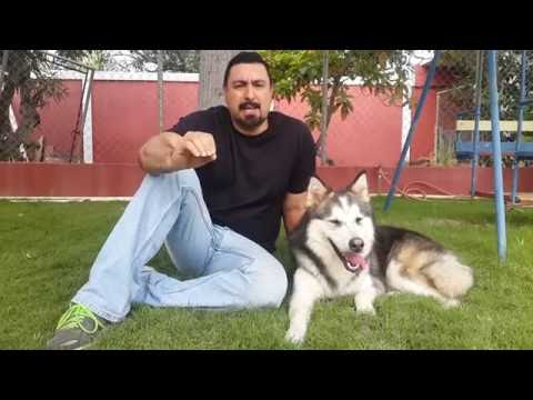 4 Consejos antes de entrenar a tu mascota . Aprendí con Loki