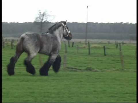 Most Beautiful and Elegant Belgian Draft Horse Buffalo van t Zwaluwnest