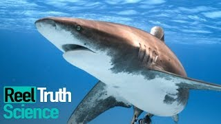 Why Did The Red Sea Shark Attacks Happen in 2010? | Science Documentary | Reel Truth Science