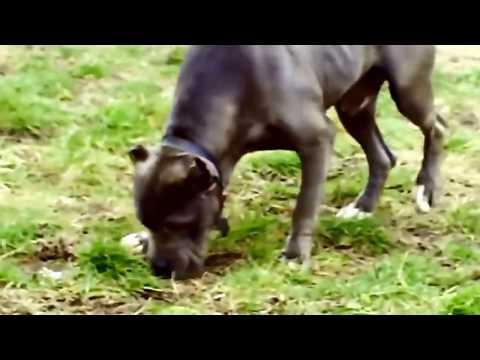 Pit bull dog mating