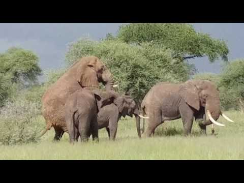 Xxx Mp4 Elephants Mating Tarangire NP May 2017 3gp Sex