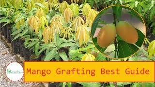 Mango grafting method | How-2-Do It Guide Step By Step | Best Guide