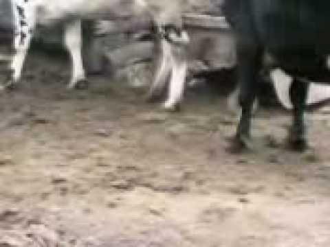 Xxx Mp4 Cow Romance 2 3gp 3gp Sex