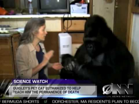 Xxx Mp4 Scientists Successfully Teach Gorilla It Will Die Someday 3gp Sex