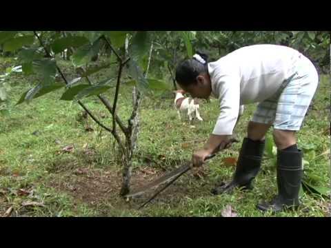 Injertos Acodos y Estacas de Cacao 1de2