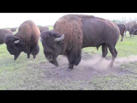 A Bison Bull in Mating Season