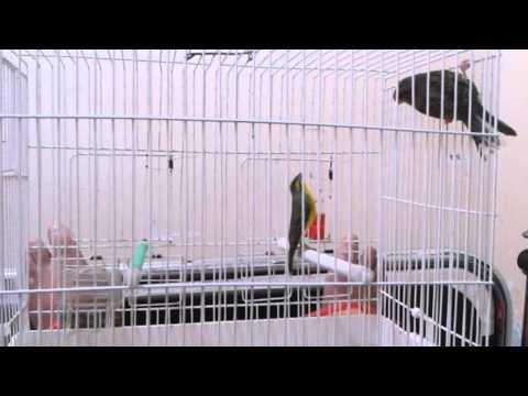 serin mozambique en chaleur. rahim tatar