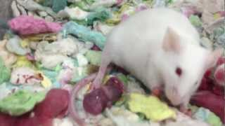 White Mouse Giving Birth - The Miracle of Life