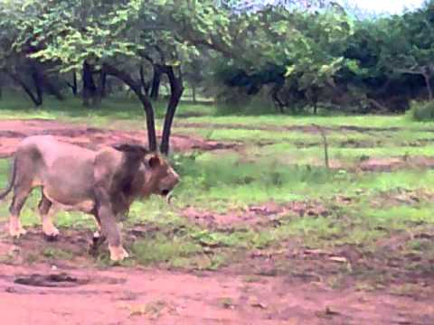 Lions Friends of Gir Jungle Gujarat - Awesome lion video