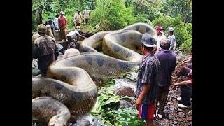 WORLD BIGGEST SNAKE ANACONDA FOUND IN AMERICA'S AMAZON RIVER