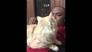 Dipijit kucing, massage by Pusy, Kucing Pintar