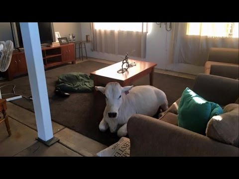 Cow Sneaks Into Owner's House and Gets Comfortable Waiting In Living Room