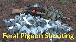 Pigeon Shooting at the Pig Farm