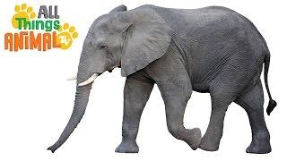 ELEPHANTS: Animals for children. Kids videos. Kindergarten | Preschool learning