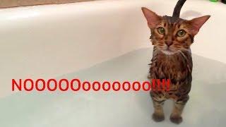 Bengal Cat says