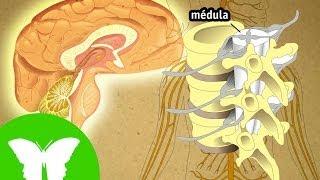 La Eduteca - El sistema nervioso