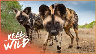 Wild Dogs Biting Back [Wild African Dogs Documentary] | Wild Things