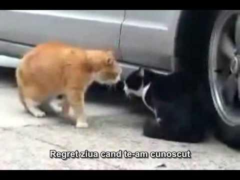 Cearta intre pisici