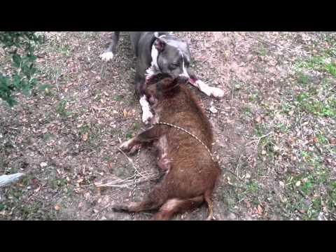 Pitbull drags hog away
