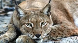 Crazy Cat Sounds! Leopard Lynx Caracal