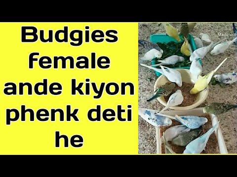 Xxx Mp4 Australian Parrots Egg Kiyon Phenkte Aor Torte Hen 3gp Sex