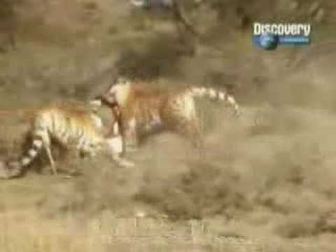 Re Lion Vs Tiger