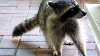 One Eyed Raccoon II