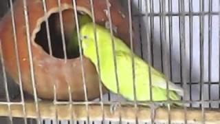 Baazigar Bird