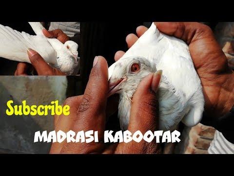 Xxx Mp4 Pigeon Lover হাসান Chotiyal প্লেন White Madrasi Kabootar In Bagnan By Raza Photography Technic 3gp Sex