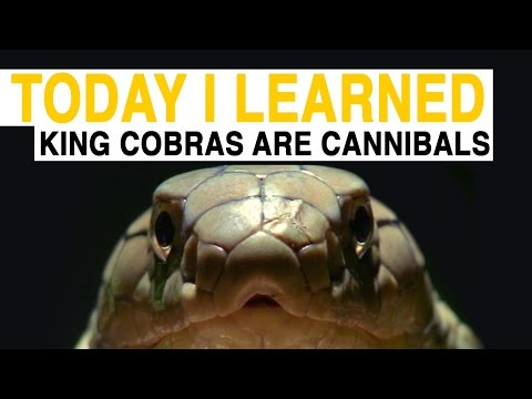watch TIL: King Cobras Are Cannibals | Today I Learned