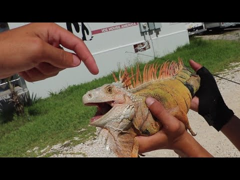 Are Iguanas Dangerous?¿BLOODY💉 seen After capture!!