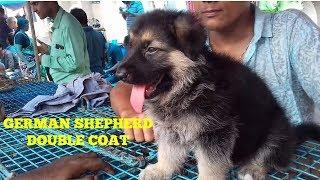 GERMAN SHEPHERD DOUBLE COAT AT GALIFF STREET PET MARKET KOLKATA | GALIFF STREET DOG MARKET