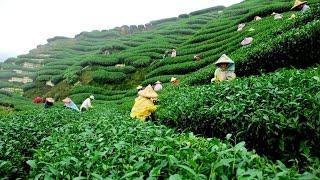 Sylhet cha bagan||jaflong cha bagan,tea garden||Tea Garden in Moulvibazar, Sylhet||.....