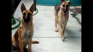 ADOPT Natasha: shy, beautiful German Shepherd