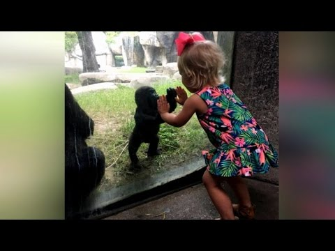 Baby Gorilla and 2-Year-Old Girl Play Patty Cake Through Glass Wall At Zoo