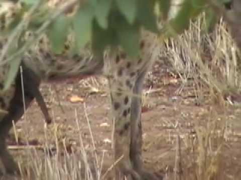 Well-Hung Horny Hyena